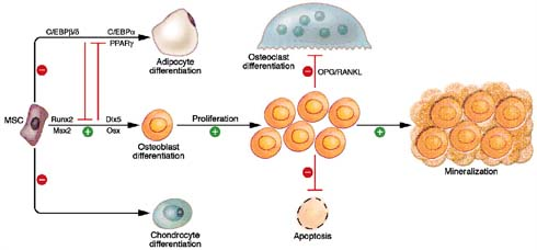 Figure 9: Wnt/ β-catenin signalling regulates osteogenesis through multiple mechanisms (adapted from Krishnan et al, 2006).